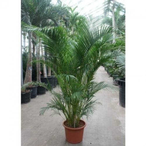 Dypsis Lutescens - Areca Palm art50303